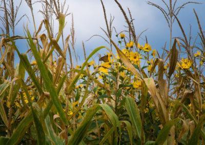 Dancin' in the Corn Field