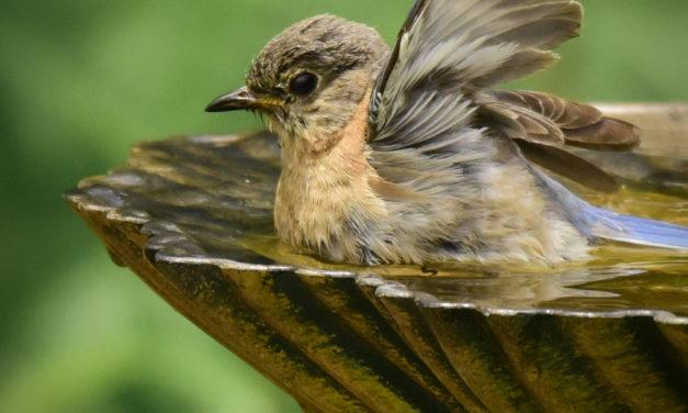 Bluebird Bath