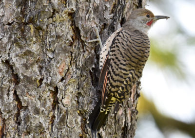 Northern Flicker Red-shafted male