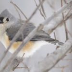 Tufted Titmouse Feeding Time